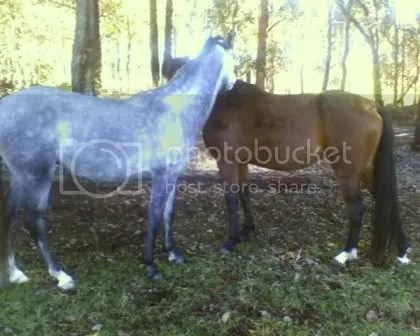 Grey is 14.3hh, Siann was the same height 12 months before
