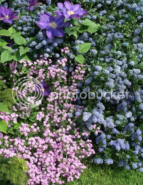 Clematidi e rose  Forum di Giardinaggioit