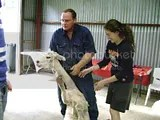 Alpaca Clipping at Maddison's in Kurrajong October 2008