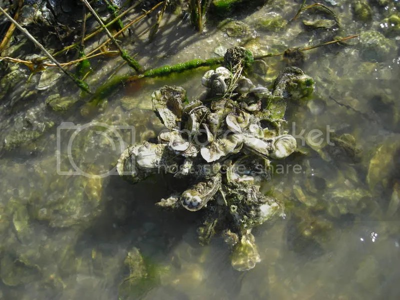 Healthy cluster of oyster shells