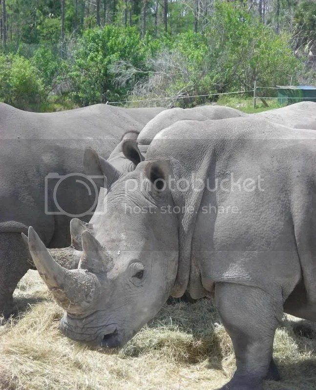 White Rhino's at Lion Country Safari, An Endangered Species on an SSP and a worthy Earth Day Poster Child