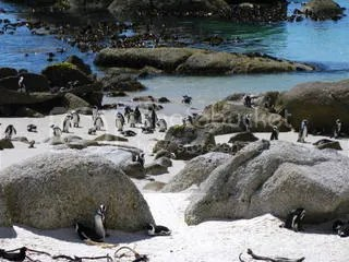 Penguins at Boulder Beach