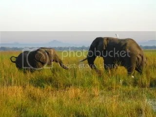 Elephants graze the Shire River Valley