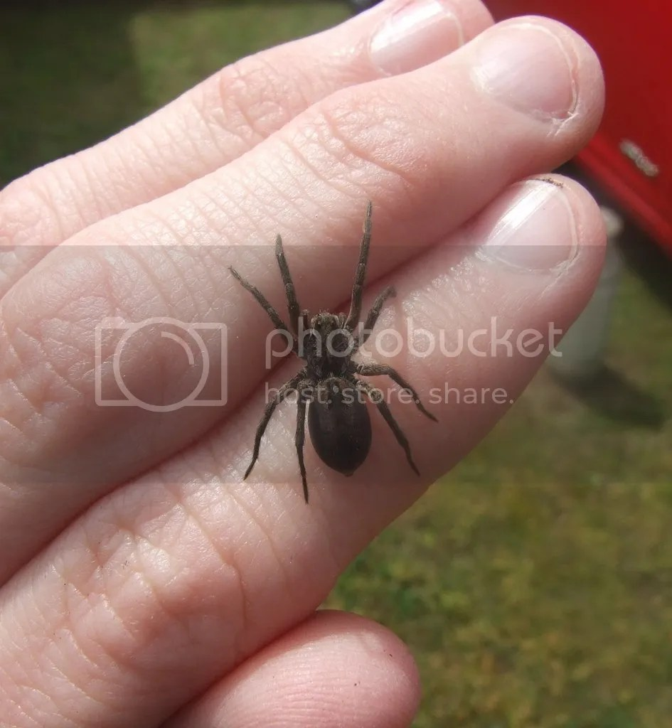 Small Burrowing Wolf Spider Back