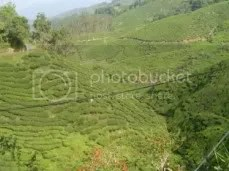 A SnapShot Of An Overview Of Tea Plants Again.