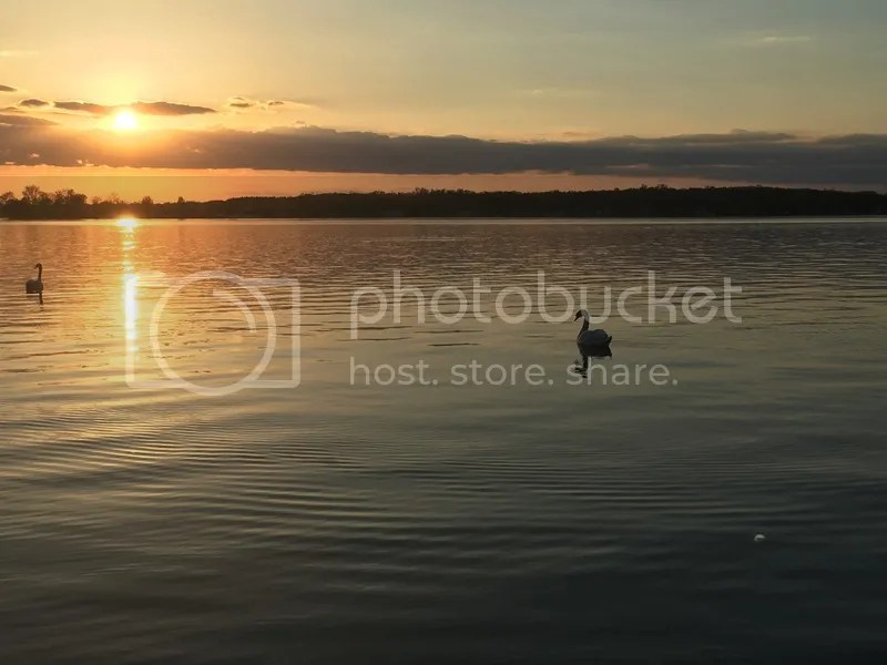 Swans in the Sunset at Crooked Lake