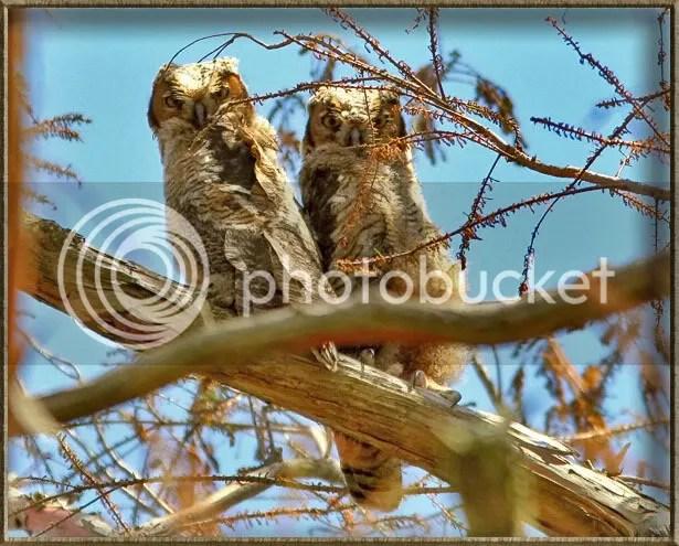 Great Horned Owl Chicks photo 2Chicks2.jpg
