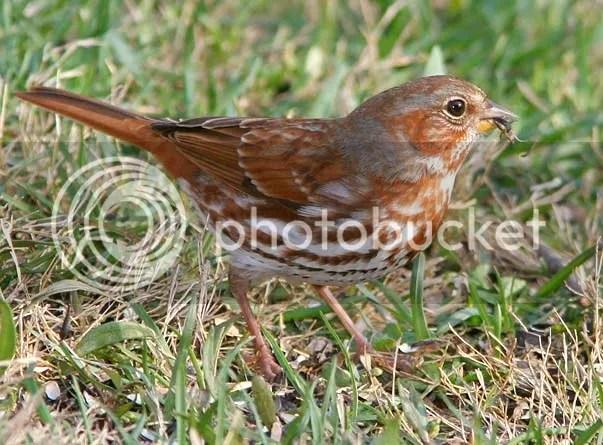 Sparrow Fox photo BDFOXWEB.jpg