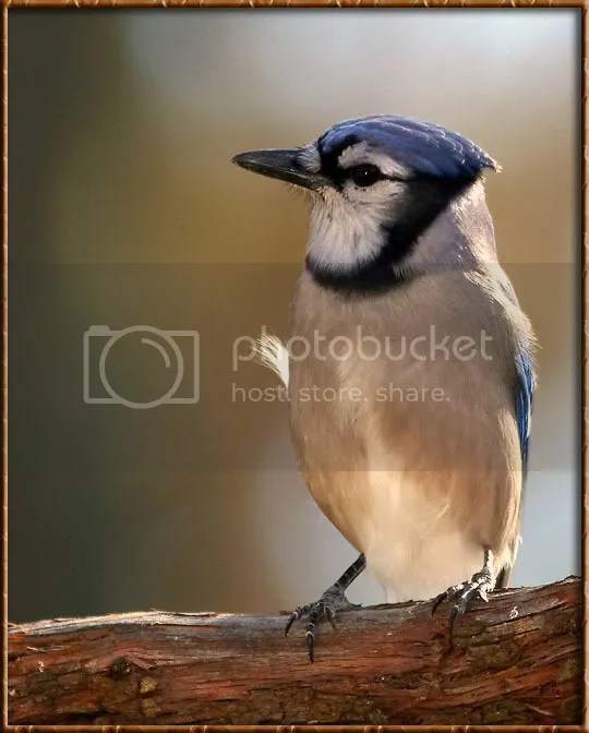 Bluejay photo BJAT8.jpg