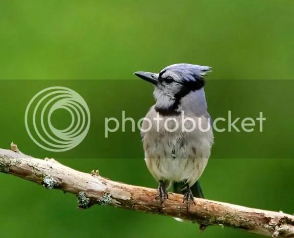 Blue Jay photo BJaya.jpg