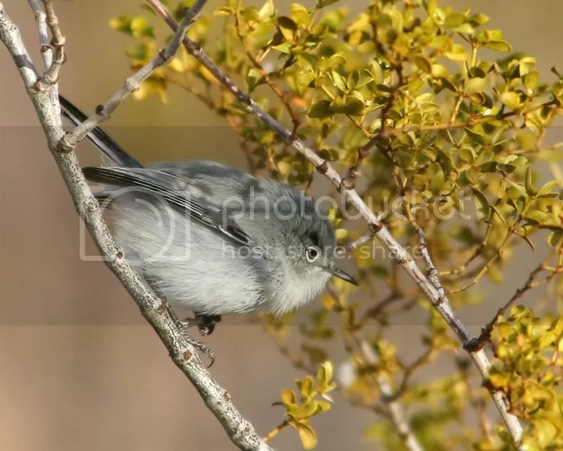 Black Tailed Gnatcatcher photo BTG2.jpg