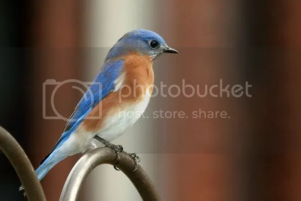Blue Bird Easten photo BackBG.jpg