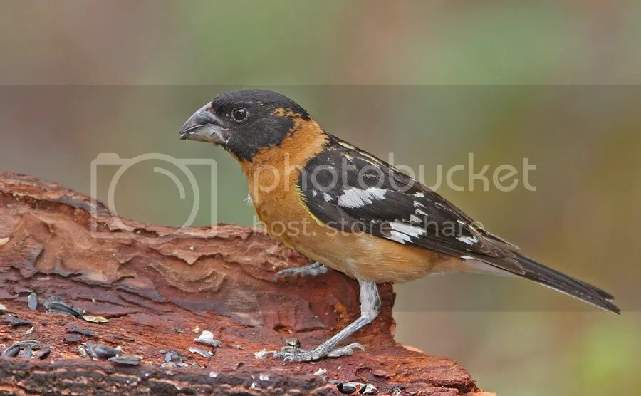 Black-headed Grosbeak photo Black-headedGrosbeak7-3-12.jpg
