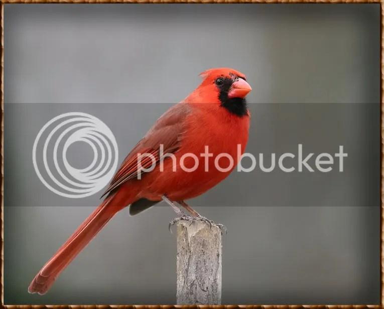 Cardinal photo CAT8.jpg