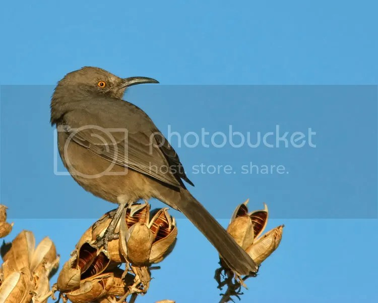 Curve-billed Thrasher photo CBThrasher1.jpg
