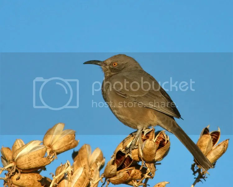 Curve-billed Thrasher photo CBthrasher2.jpg