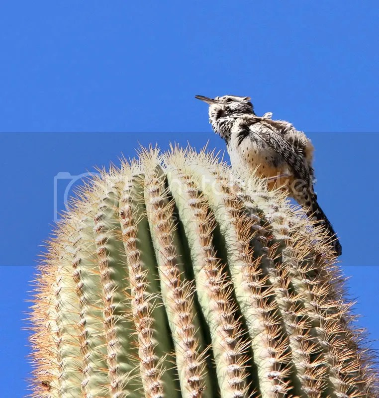 Cactus Wren photo CWren.jpg