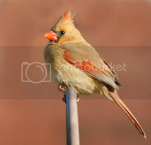 Cardinal photo CarFVA.jpg
