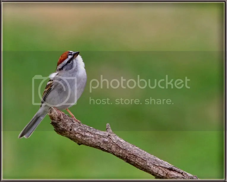 Chipping Sparrow photo Chip11.jpg