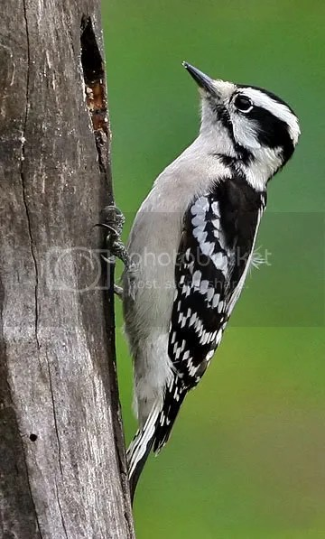 Woodpecker Downy photo DF.jpg
