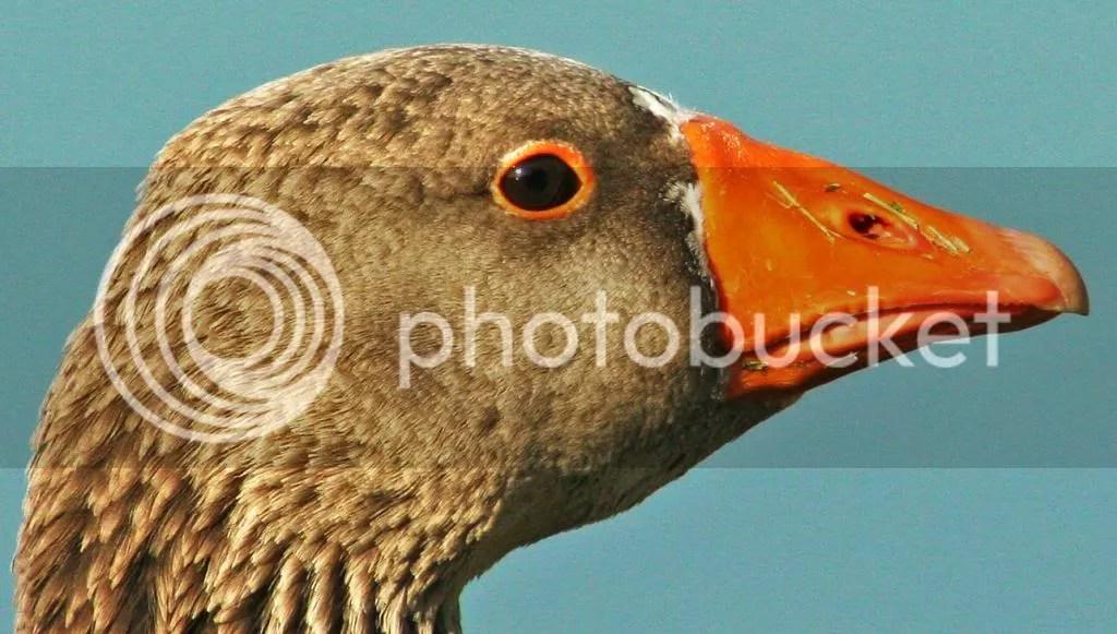 Goose Donestic photo EverydayGoose023_zpsfef18e0a-1.jpg