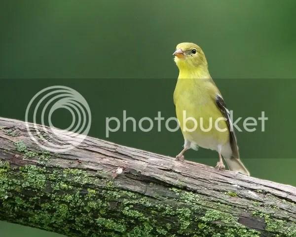 Goldfinch photo FMGF.jpg