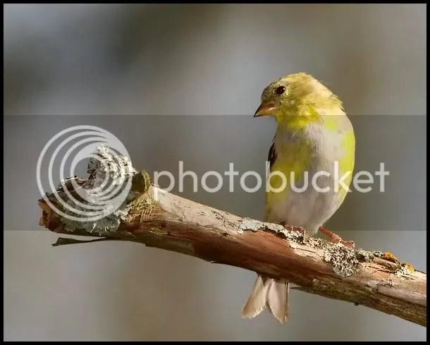 Finch Gold photo GFF.jpg