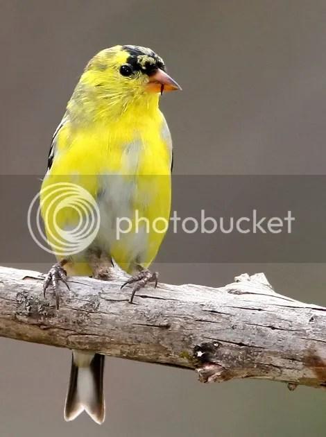Finch, Gold photo GFINL.jpg