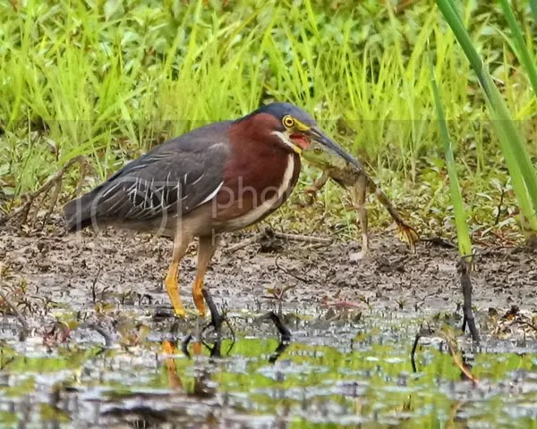 Green Heron photo GH1.jpg
