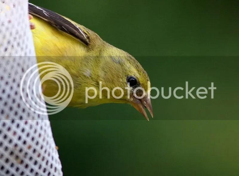 Goldfinch photo Goldfinch1.jpg