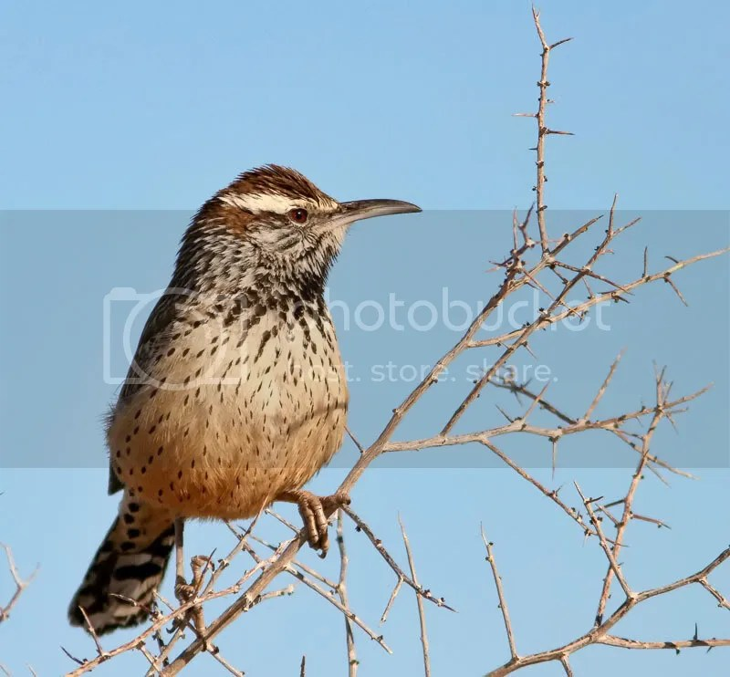 Cactus Wren photo IMG_9311.jpg