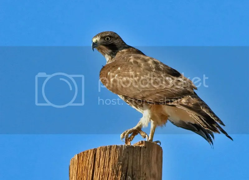 Red Tail Hawk photo IMG_9443.jpg