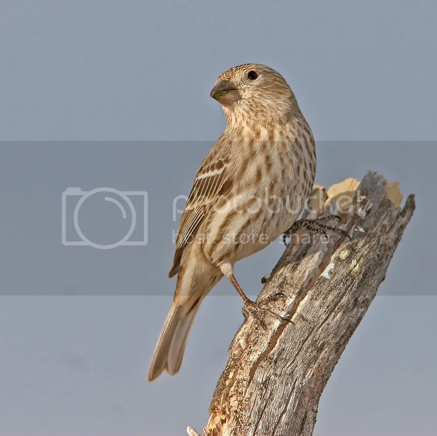 House Finch photo LadyFinch.jpg