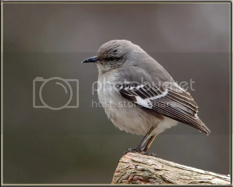Mocking Bird photo MBNT2.jpg