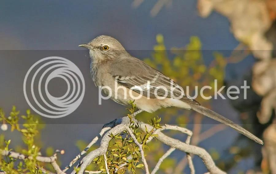 Mocking Bird photo MockingBird8086.jpg