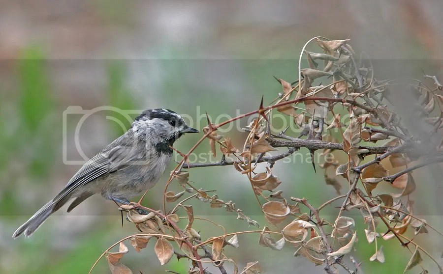Chickadee Mountain photo MountainChickadee2.jpg