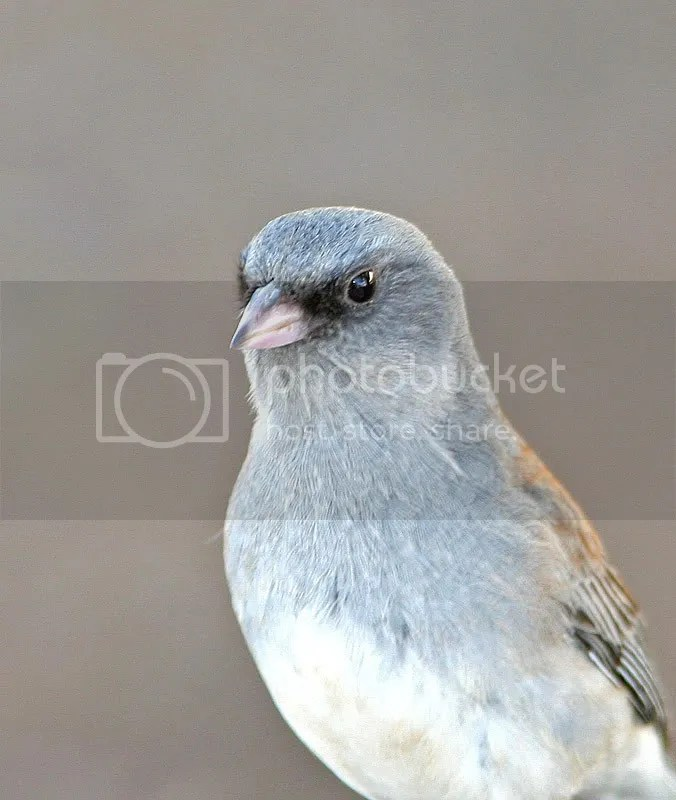 Pink-Sided Junco photo PinkSided3_5274.jpg
