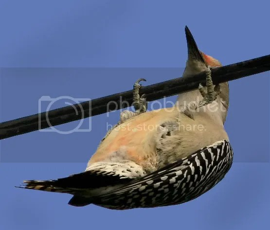 Wood Pecker Red Belle photo RBB.jpg
