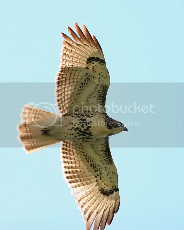 Red Tailed Hawk photo RHawk3.jpg