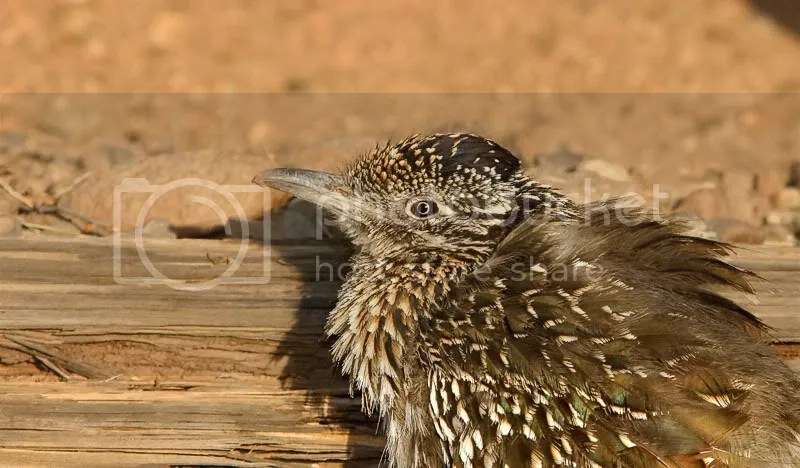 Greater Roadrunner photo RoadR1.jpg