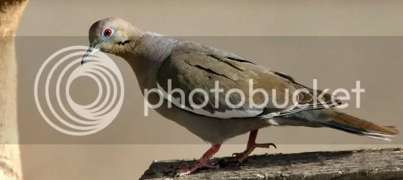 White Winged Dove photo WWDove.jpg