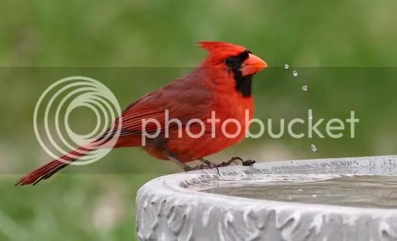Cardinal, Northern photo carwwarer.jpg