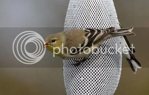 Finch, Gold photo coloron2.jpg
