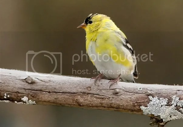 Finch, Gold photo coloron3.jpg