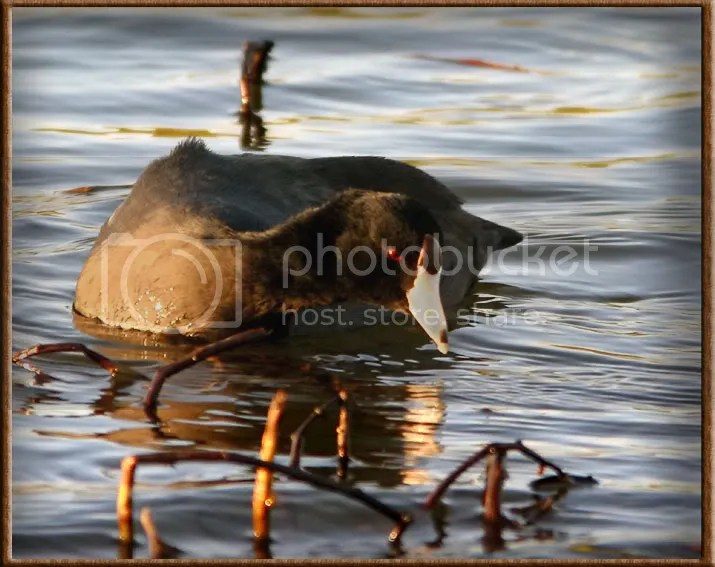 Coot photo cootw.jpg