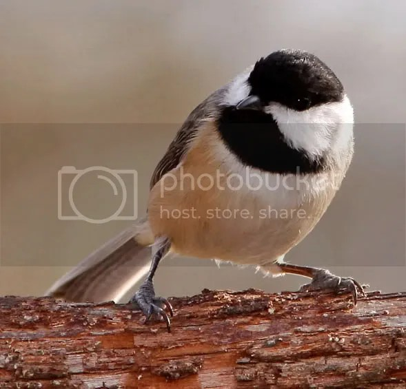 Chickadee Carolina photo crlitellvv.jpg