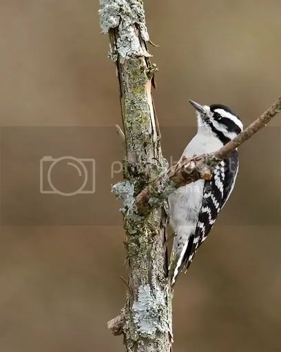 Woodpecker, Downy photo onpole.jpg