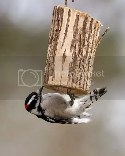 Woodpecker, Downy photo ponfeeder.jpg