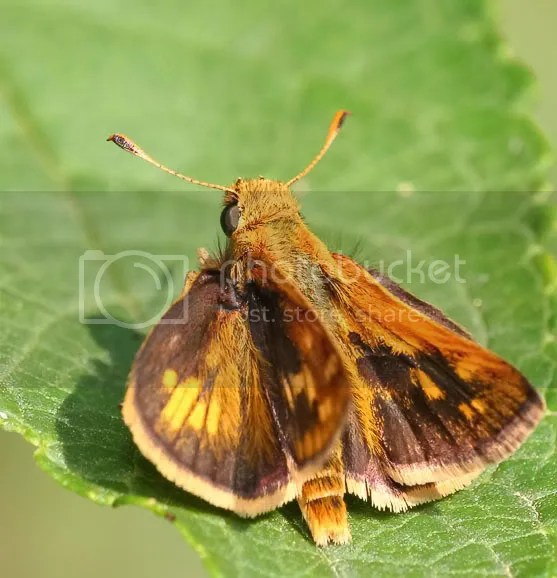 Peck's Skipper photo 3td.jpg