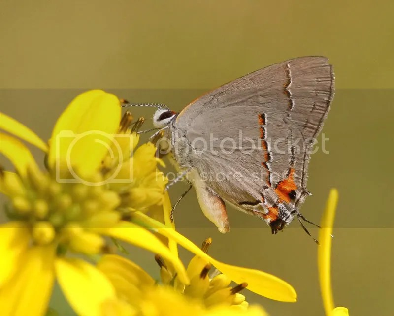Gray Hairstreak photo B9.jpg